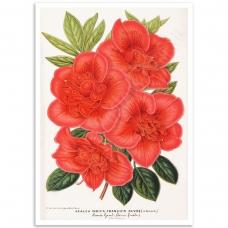 Botanical Poster - Azalea Indica
