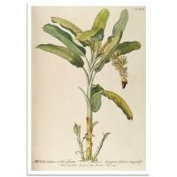 Botanical Poster - Banana Plant Illustration 1750