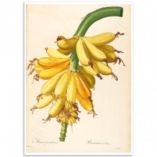 Botanical Poster - Banana, Musa Paradisiaca