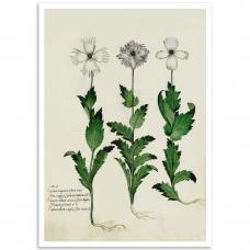 Botanical Poster - Carnation Italian
