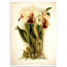 Botanical Poster - Cattleya Orchid