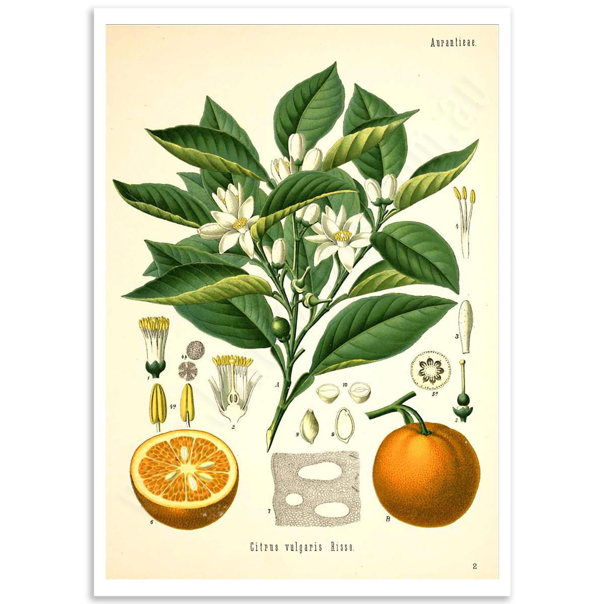 Botanical Poster - Citrus