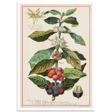 Botanical Poster - Coffee - Coffea Arabica