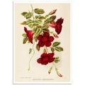 Botanical Poster - Dipladenia Atropurpurea