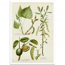 Botanical Poster - 3 Medicinal Plants