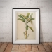 Botanical Poster - Banana Plant Illustration 1750