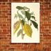 Botanical Poster - Cocoa, Maria Sibylla Merian
