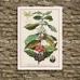 Botanical Poster - Coffee - Coffea Arabica