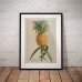Botanical Poster - Pinapple Plant Illustration 1750