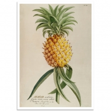 Botanical Poster - Pinapple Plant Illustration 1750