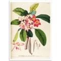 Botanical Poster - Frangipani, Plumeria Rubra