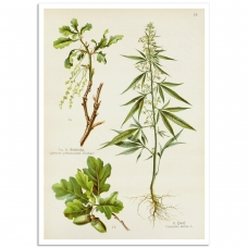 Botanical Poster - Cannabis Sativa