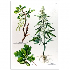 Botanical Poster - Cannabis Sativa