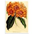 Botanical Poster - Rhododendron Javanicum