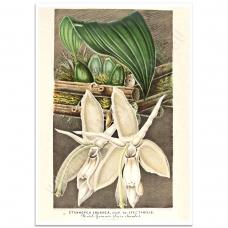 Botanical Poster - Stanhopea Eburnea