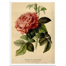 Botanical Poster - Triomphe de Valenciennes