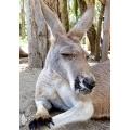 Australian Wildlife Poster - Red Kangaroo