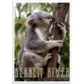 Australian Wildlife Poster - Koala - Kennett River, Victoria