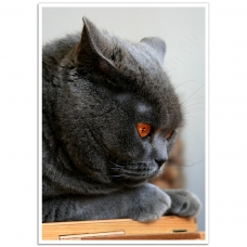 Pet Photographic Poster - British Shorthair Cat